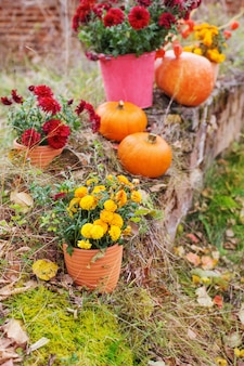 Chrysanthemum in flowers pots and orange pumpkins in autumn gardens near old brick wall
