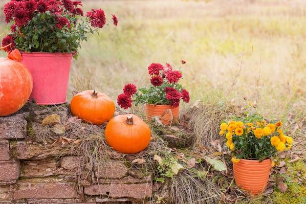 Chrysanthemum in flowers pots and orange pumpkins in autumn gardens near old brick wall