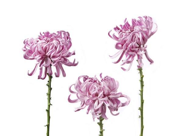 Хризантема grandiflorum «венская розовая», изолированные на белом