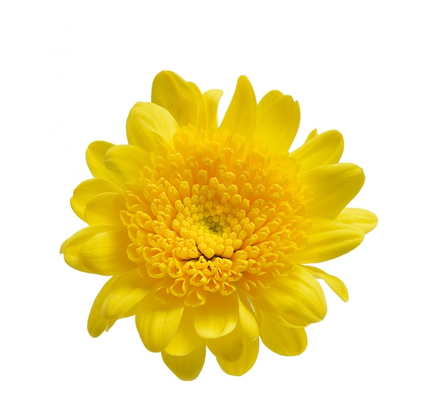 Chrysanthemum isolated on a white space