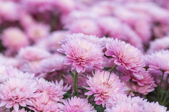 Chrysanthemum pink flowers in the garden