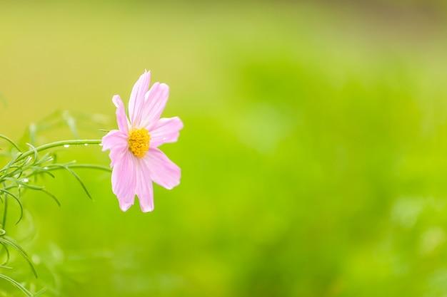 ぼやけた緑の背景を持つ菊。右側のスペースをコピー