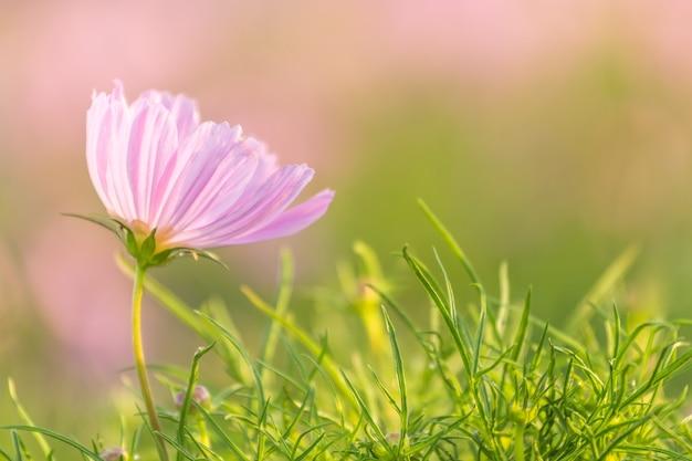 ピンクと緑の背景がぼやけた菊。右側のコピースペース