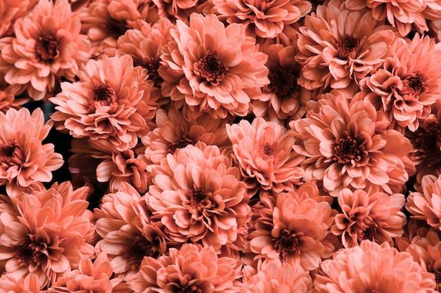 국화. 산호 신선한 꽃