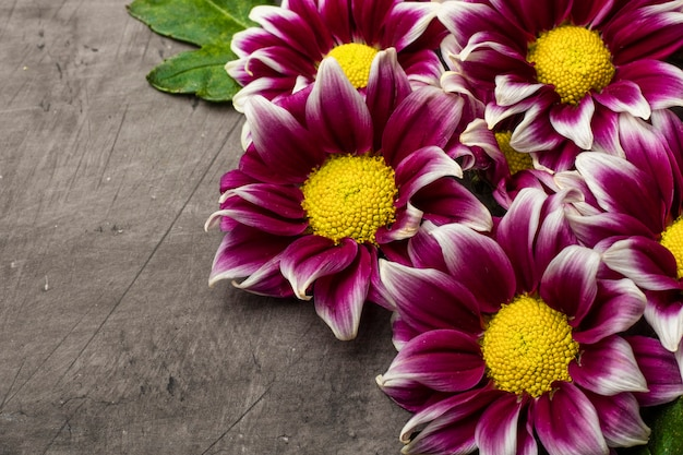 Chrysanthemums on a dark background with copy space