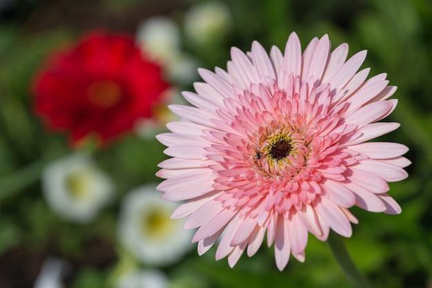 화창한 봄 날에 정원에서 국화 꽃