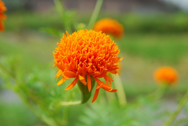 Chrysanthoms bloom in the garden
