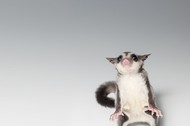 A chubby adorable sugar glider standing two legs (petaurus breviceps) on white background