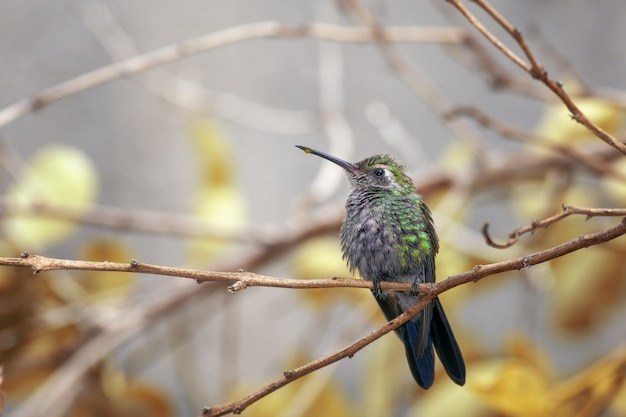 Chubby green hummingbird standing on dry tree branch in a forest with blurred background