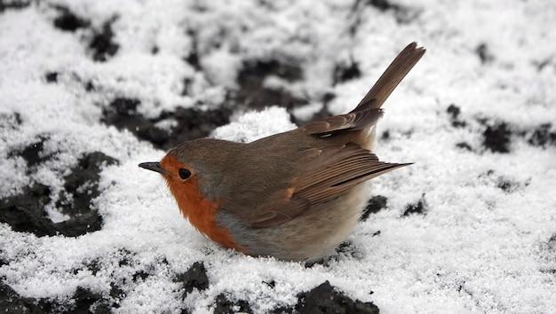 雪の上に腹を持つぽっちゃりロビンコマドリ