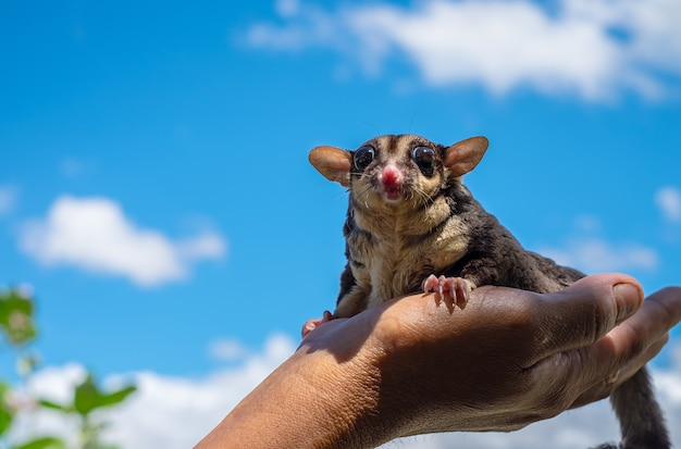 A chubby sugar glider on hand in blue sky background. it can smell its own. (petaurus breviceps)