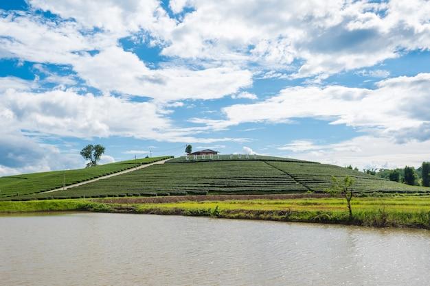 Chui fong terrace tea plantation in the morning, mae salong mountain, chiang rai, thailand.
