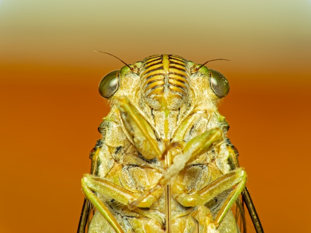 Cicada bug. cicada insect.