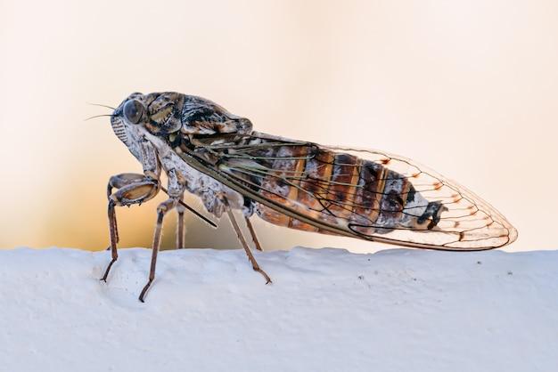Цикада насекомое. цикада крупным планом на белой стене. макросъемка цикады.