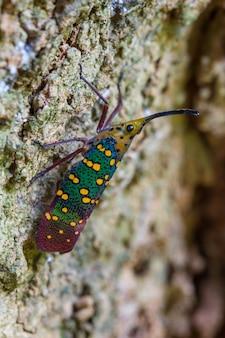 Cicada or lanternfly ( saiva gemmata )