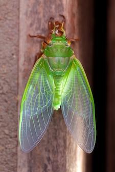 Cicada molting exuviae emerging