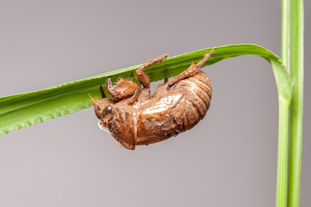 Cicada shell on green plant stem isolated on gray background