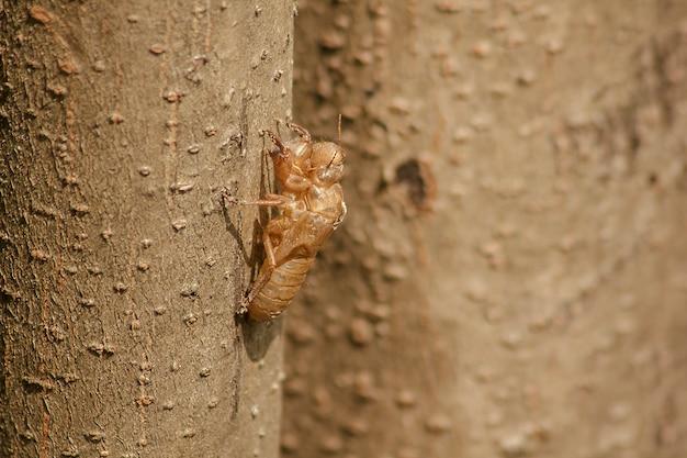 Cicada skin is on the tree.