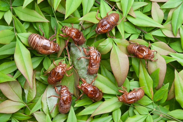 Cicadas shell isolated on green leaves