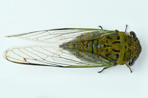 Cicadas on white background
