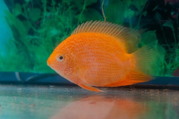 Аквариумные рыбы cichlasoma severum