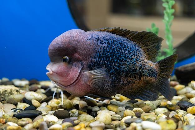 Cichlazomarainbowまたはviejasynspilum cichlasomasensillumの魚が水族館で泳ぐ
