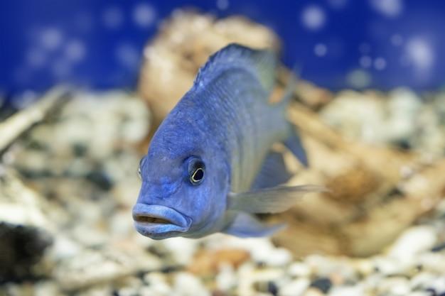 Cichlid aquarium fish underwater. one blue haplochromis moorii exotic aquarium fish swims in water. selective focus.