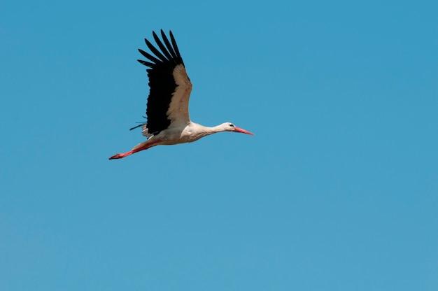Ciconnia flying aginst a clear blue sky