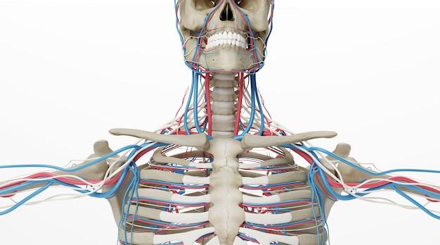 흰색 배경에 고립 된 동맥과 인간의 골격의 시네마 4d 렌더링