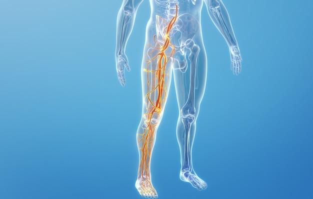 人間の下肢の血管構造のcinema4dレンダリング