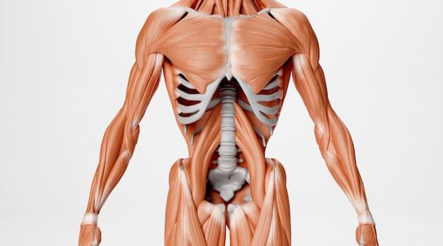 白い背景で隔離の人間の筋肉のシネマ4dレンダリング