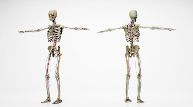 白い背景で隔離の前面と背面からの人間の骨格のシネマ4dレンダリング