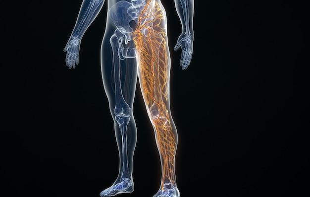 人間の足のリンパ分布のcinema4dレンダリング