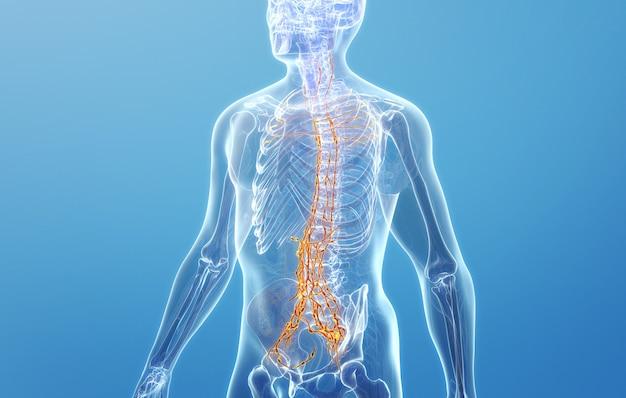 척추 림프계의 cinema 4d 렌더링