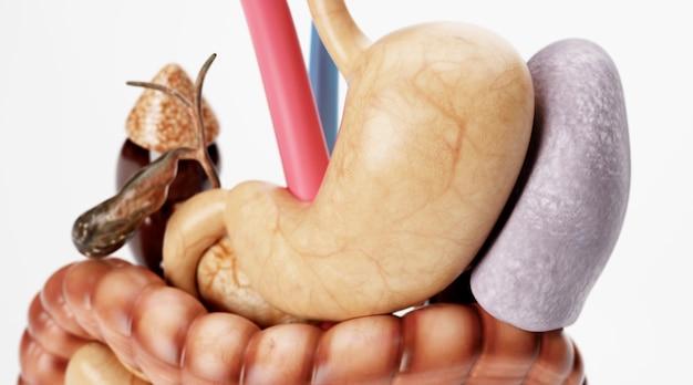 白い背景で隔離の人体の脾臓のシネマ4dレンダリング
