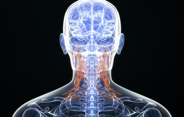 Cinema 4d визуализация распределения лимфатических сосудов шеи человека