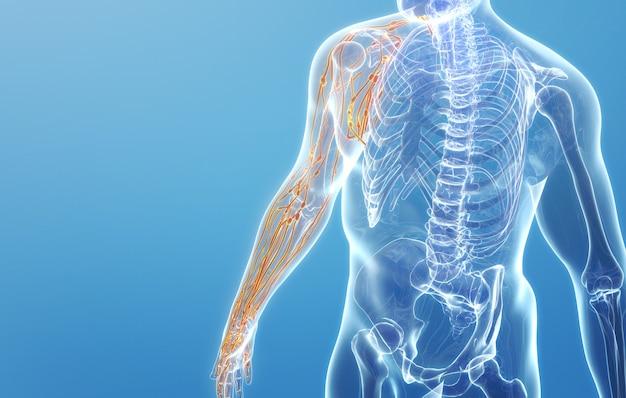 Рендеринг cinema 4d нервной структуры конечности правого плеча человека