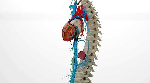 인간의 심장으로 이어지는 혈관 구조의 cinema 4d 렌더링