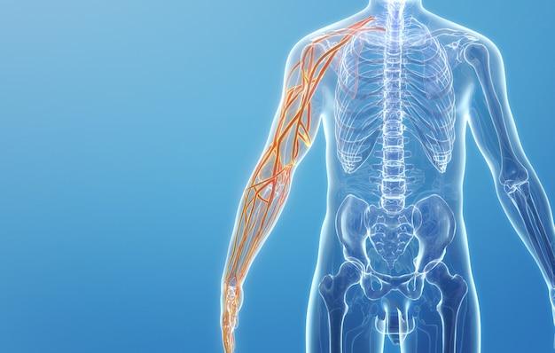 人間の上肢の静脈構造のcinema4dレンダリング