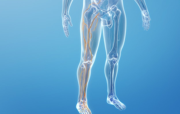 Cinema 4d rendering of venous structures of human lower limb
