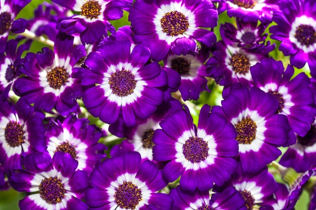 Cineraria purple, pink and white  flowers