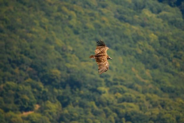 Чёрный гриф (aegypius monachus) летает над лесом.