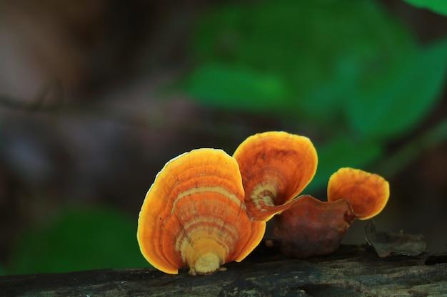 Cinnabar polypore wild mushrooms growing on the dead timber