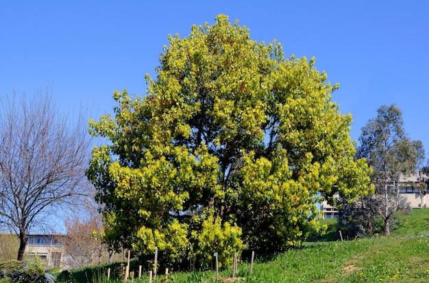 Cinnamomum camphora. camphor tree.