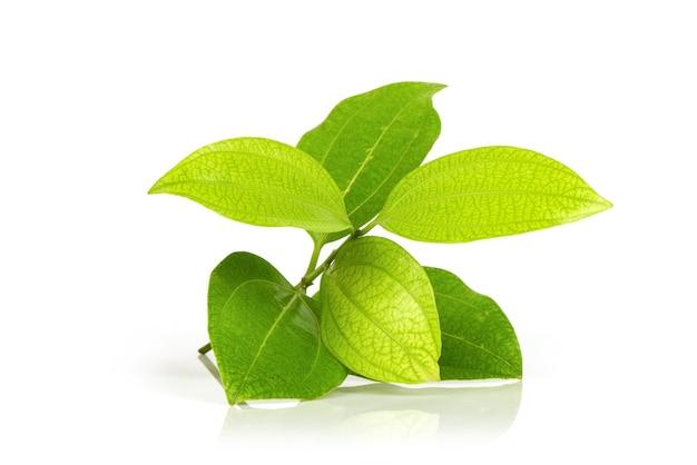 白い表面に分離されたシナモン枝の緑の葉。
