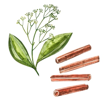 Cinnamon sticks isolated on white background. watercolor illustration.