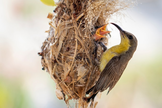 紫のサンバード(メス)が鳥の巣で赤ちゃんの鳥に餌をやる。 (cinnyris asiaticus)。鳥。動物。