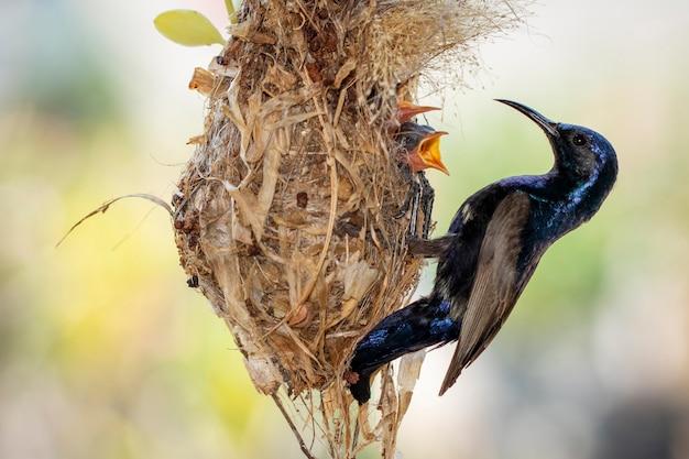 紫のサンバード(男性)が鳥の巣で赤ちゃんの鳥に餌をやる。 (cinnyris asiaticus)。鳥。動物。
