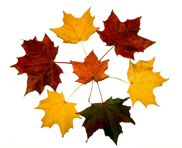 Circle of colorful maple leaves on white