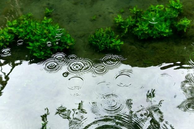 Круги из капель дождя на поверхности мелкого пруда с полупрозрачными водорослями сквозь воду